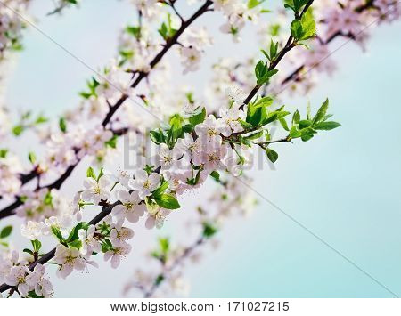 Blossom cherry or apple branch against blue sky, beautiful spring flowers for vintage background. Lovely landscape of nature.
