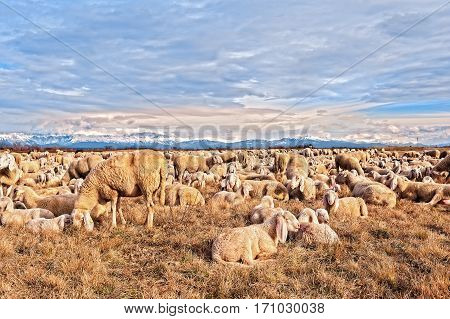 Flock Of Sheep With Lambs. They Grazed In Winter Day.