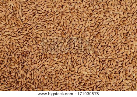 Barley beans. Grains of malt closeup. Barley on sacking background. Food and agriculture concept.
