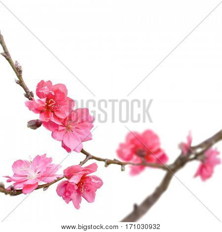 Sakura japan cherry branch with blooming flowers isolated on white