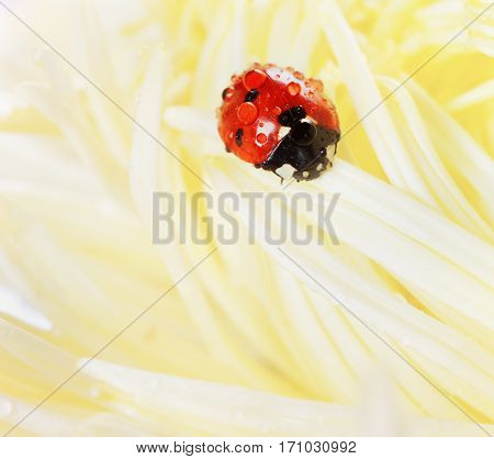 Ladybird or ladybug in water drops on a yellow autumn flower of aster natural vintage background with pastel colors.