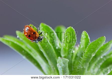 Ladybird or ladybug in water drops on a green grass.