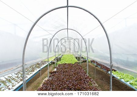 View of fresh butterhead salad lettuce, Farm in Thailand