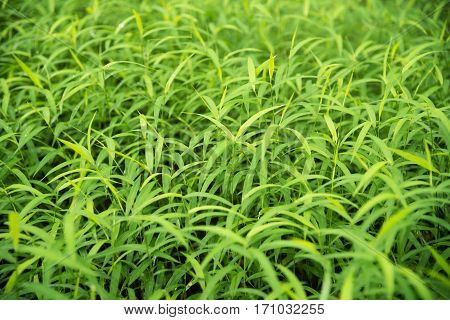 Green para grass leaves fresh nature background