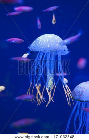 Little medusas in aquarium. Ocean or sea inhabitants, fishes, water plants. Diving. Jelly fish.