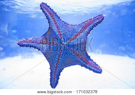 Starfish in water. Aquarium inhabitant, asteroid, sea star, ocean.