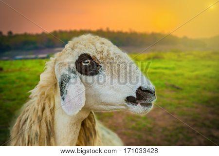 Brillen Schaf Sheep Face Twillight Sunset Background