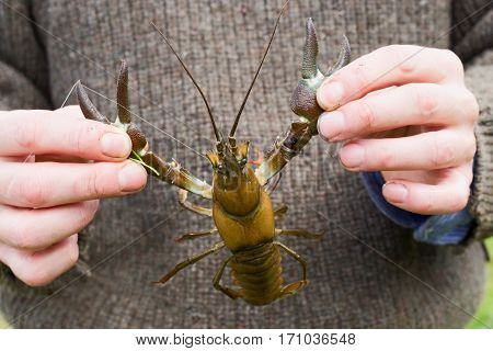 a signal crayfish caught in the river