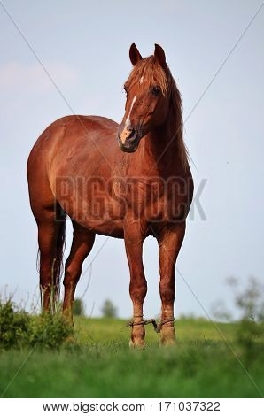 Beautiful Brown Horse Standing on the Grass