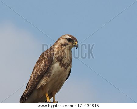 Light brown Common Buzzard on a lamppost (Buteo buteo)