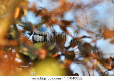 Blue tit hiding in a bush, Eurasian blue tit, Cyanistes caeruleus, Parus caeruleus,