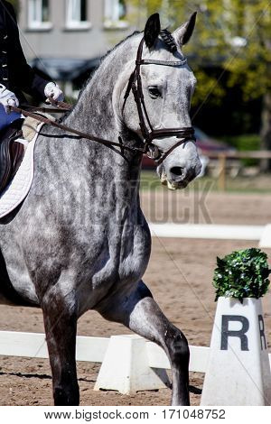 Portrait Of Beautiful Gray Horse During Show