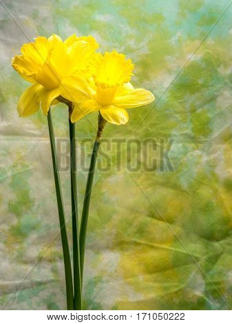 Multiple yellow daffodils isolated on multicolored background