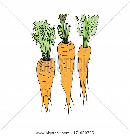 Three orange carrots with green haulm. Vector images