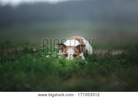 Dog Jack Russell Terrier lying on the grass on the nature in the rain