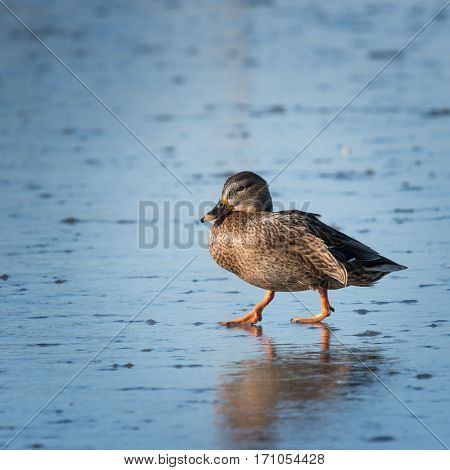 The Small speckled duck walking on ice
