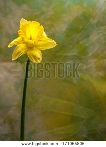 Isolated daffodil portrait orientation with copy space
