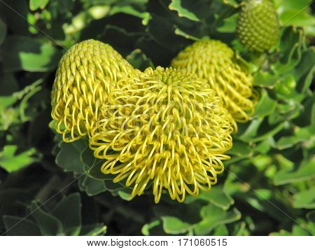 Yellow Protea, Found In Western Cape, South Africa 13fed