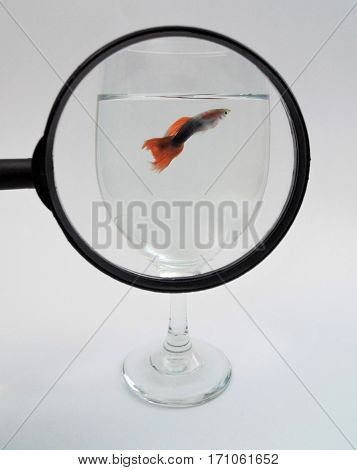 Small guppy fish under a magnifying glass.