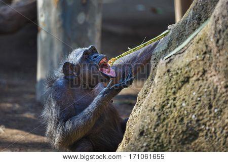 Female chimpanzee eats the fruit on the stick
