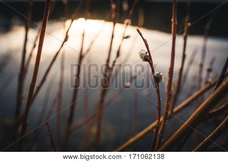 Image of willows with raindrops after the rain.