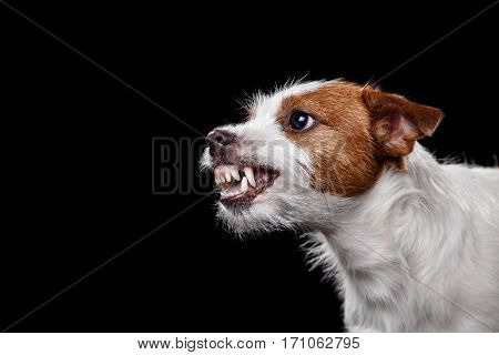 Dog Jack Russell Terrier on the black, angry, snarls, teeth