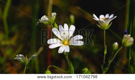 Delicate white flowers stand lonely on a meadow