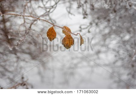 Beautiful winter background - branch of ornamental garden shrub Spiraea