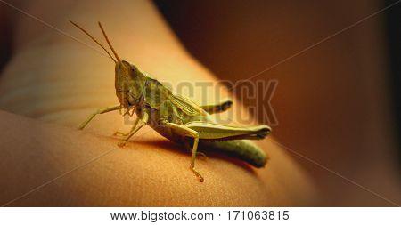 A small grasshopper takes a break on one arm