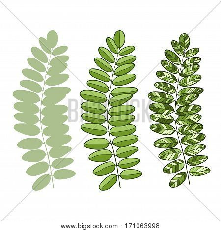 Vector green acacia leaves isolated. Vector illustration for interior design or decorative design.