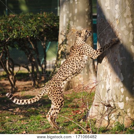 Cheetah is sharpening its claws on a tree
