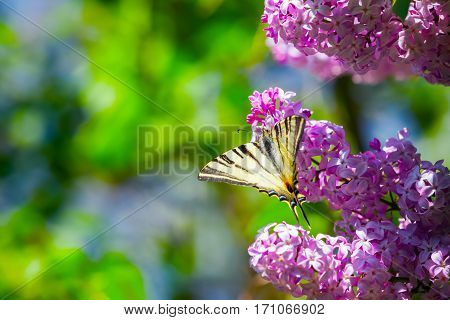 Fantastic bouquet of purple lilac magic swallowtail butterfly on a background of blue sky and green leaves.