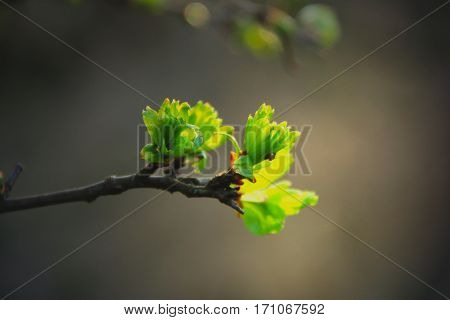 Young leaves in spring in tender green