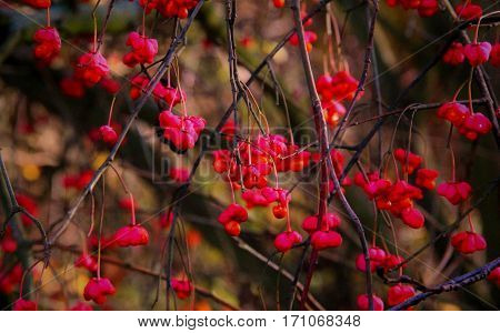 A lot of red flowers hang on thin branches