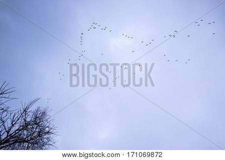 Migrating Wild Geese