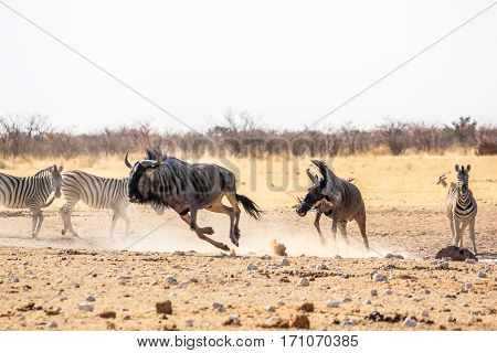 wildebeests running in Namibian savannah of Etosha National Park, Namibia, Africa
