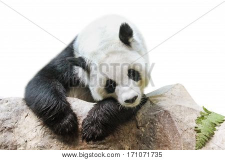 Giant Panda portrait, Ailuropoda melanoleuca or panda bear, from south central China. resting on a rock, front view, isolated on white background.