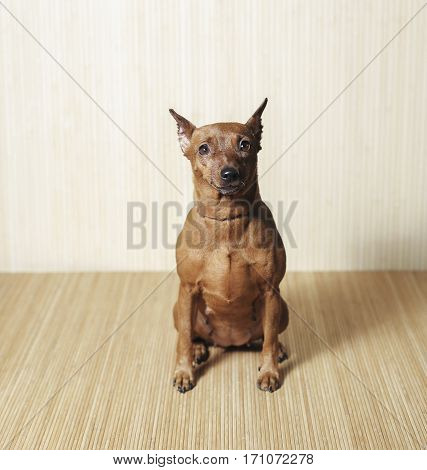 dog breed zwergpinscher sitting on the wooden background view from front.
