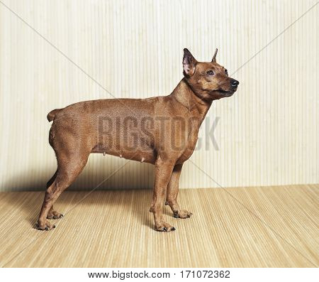Dog breed zwergpinscher standing on the wooden background view from side.