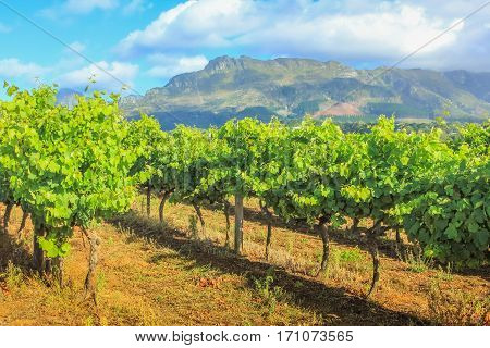 Rows of grapes in picturesque Stellenbosch wine region with Thelema Mountain as a backdrop. The Vineyards of Stellenbosch Wine Routes are one of most popular attractions of South Africa near Cape Town