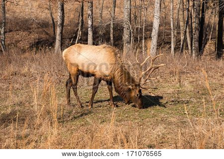 A large bull elk grazing on winter grass.