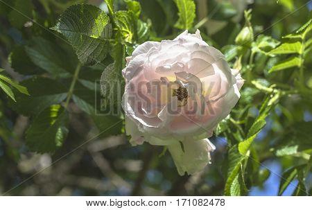 beautiful delicate spring flower close-up rose sunlit
