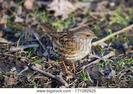 A dunnock or hedge sparrow foraging among soil and twigs