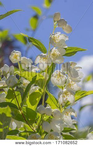 delicate flowers fragrant jasmine spring. bunch of flowers.