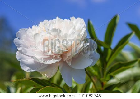 thin bright spring peony flower on a background of blue sky.