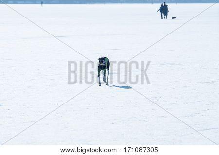 one dog running on white frozen lake ice surface