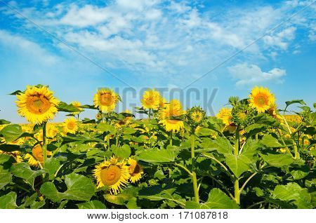 Sunflower flower against the blue sky and a blossoming field