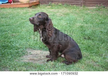 Brown Working Type Cocker Spaniel Pet Gundog Sitting