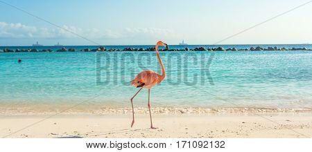 Flamingo on the Aruba beach. Flamingo beach
