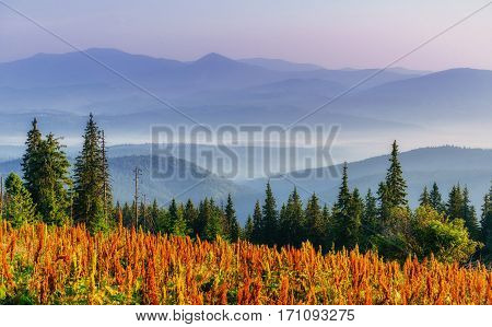 wildflowers in the mountains at sunset. Carpathian, Ukraine, Europe
